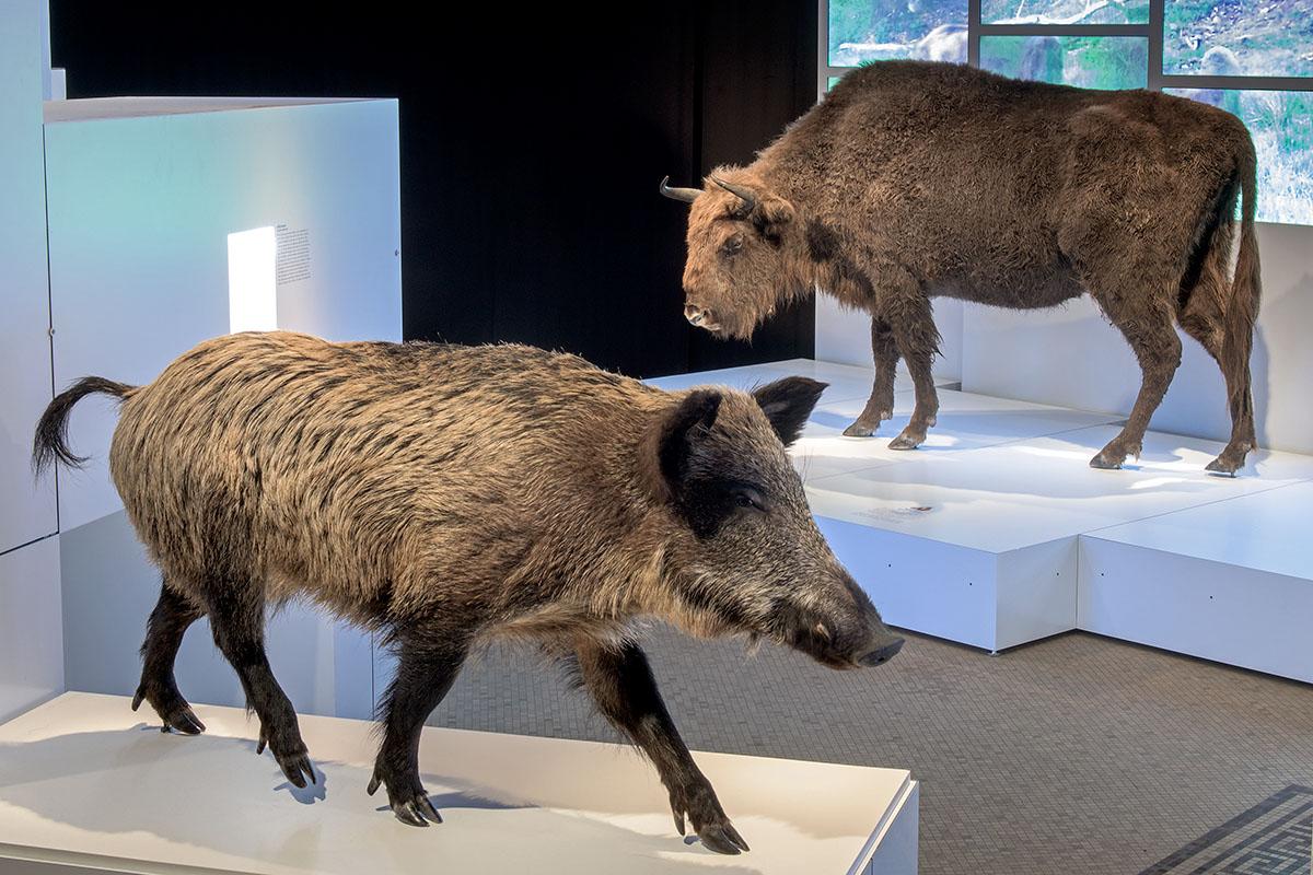 Einblicke in die Sonderausstellung Sielmann! des Museums für Naturkunde Berlin mit Wildschwein im Vordergrund