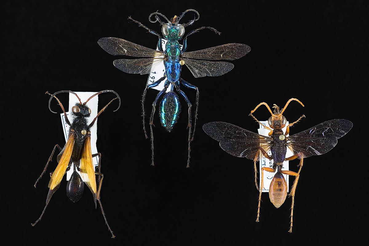 Objekte aus der Sammlung der Hautflügler und Netzflügler.