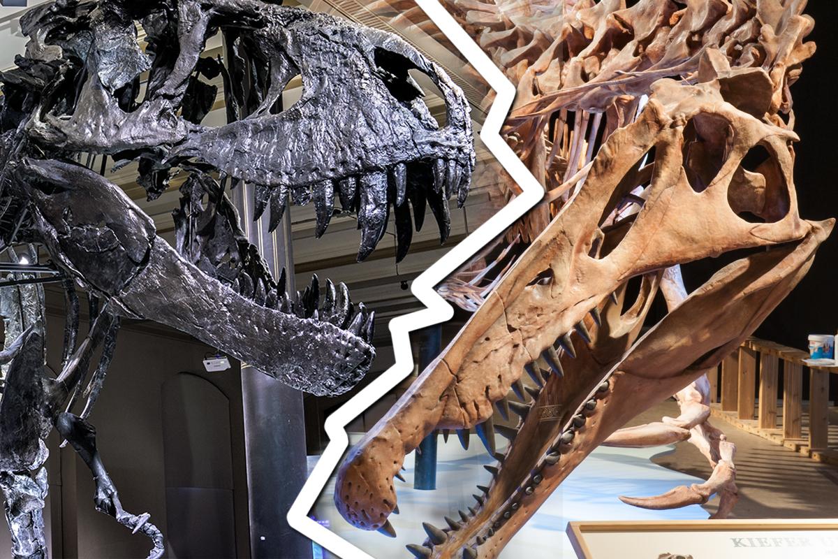 Schädel T. rex und Spinosaurus