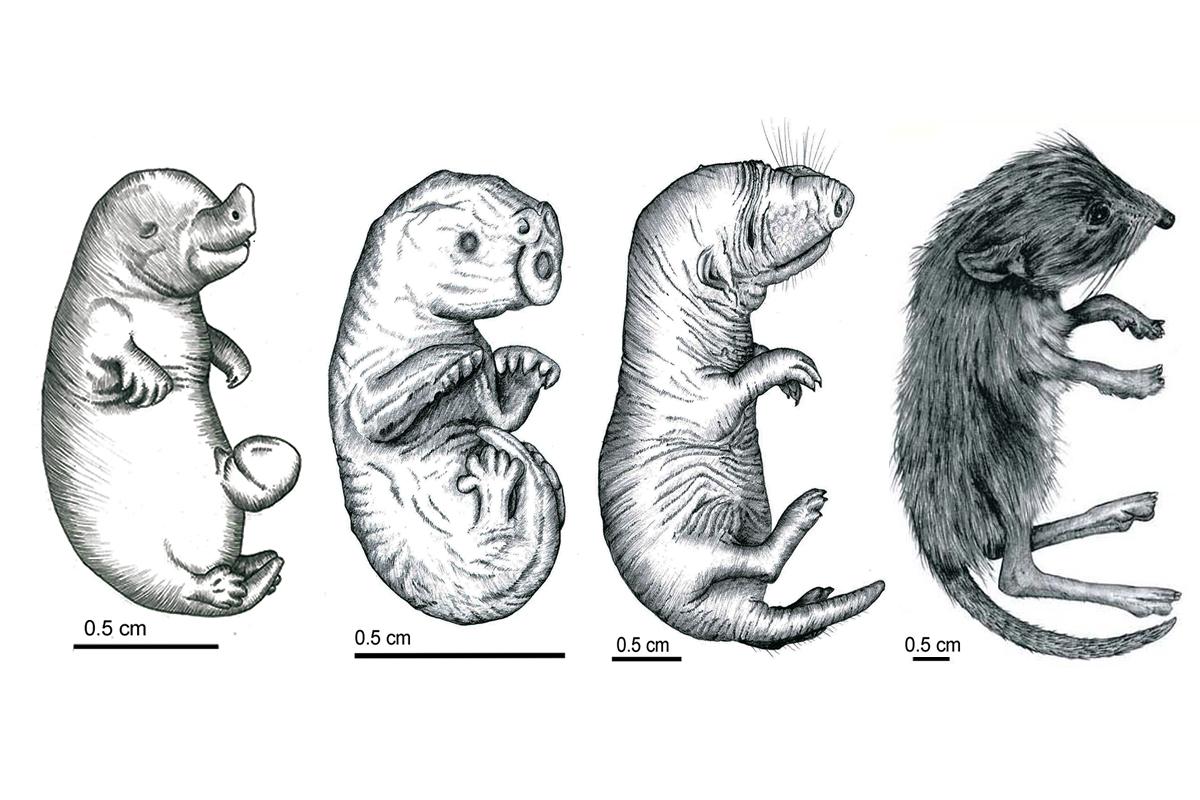 Vergleichende Anatomie von neonaten Säugetieren | Museum für Naturkunde
