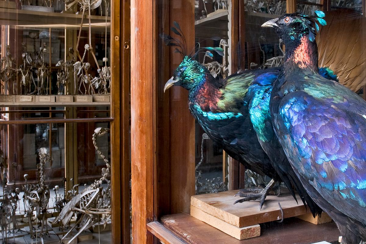 Vogelsaal mit historischen Vitrinen, Foto: Carola Radke / MfN