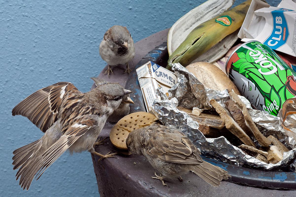 Das Foto zeigt mehrere Spatzen, wie sie am Rand einer Mülltonne an einem Keks picken.