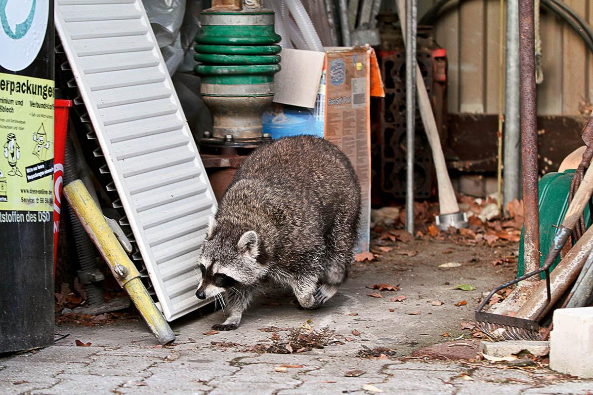 Das Foto zeigt einen Waschbären in einer Garage.