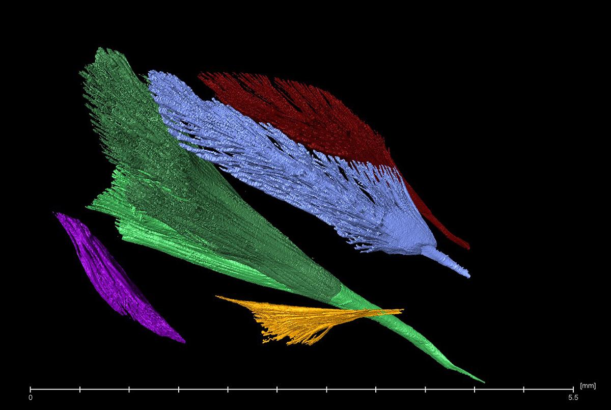 Einzelne Muskeln einer Wespe im CT, Foto: Maraike Willsch