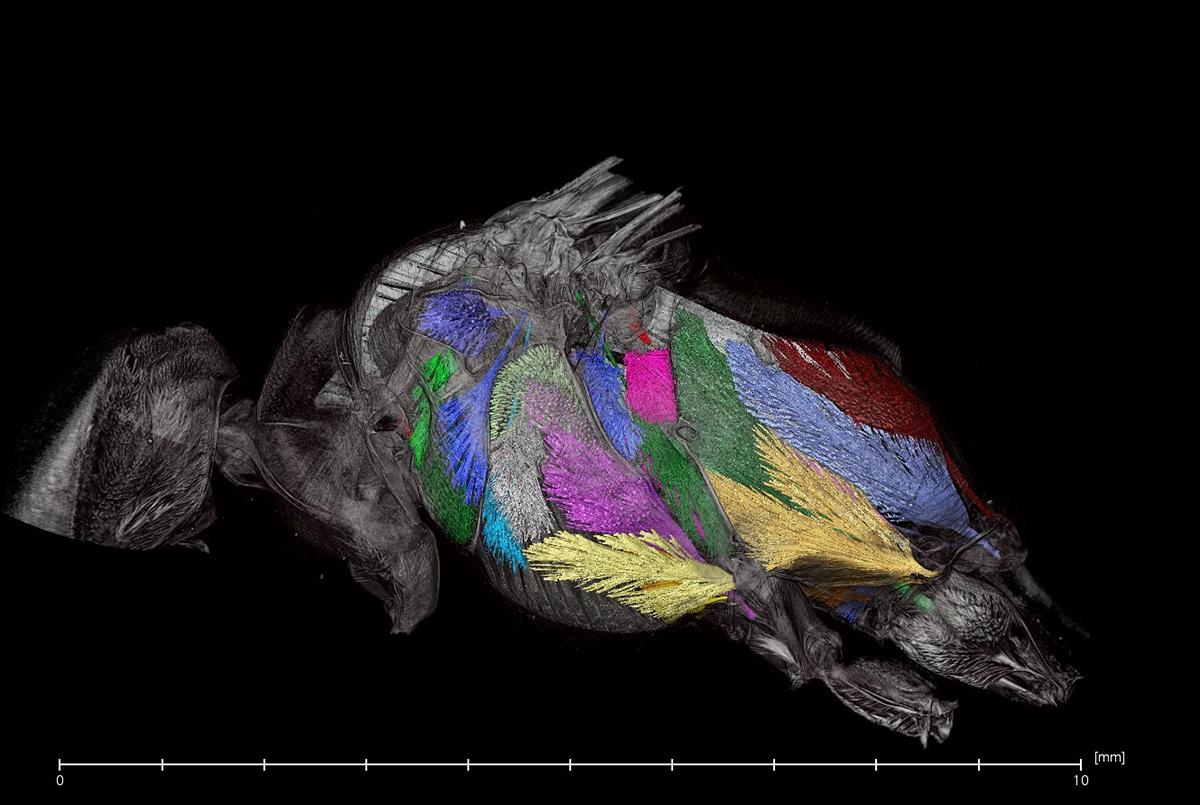 Wespe im CT-Scan, Foto: Maraike Willsch, Museum für Naturkunde