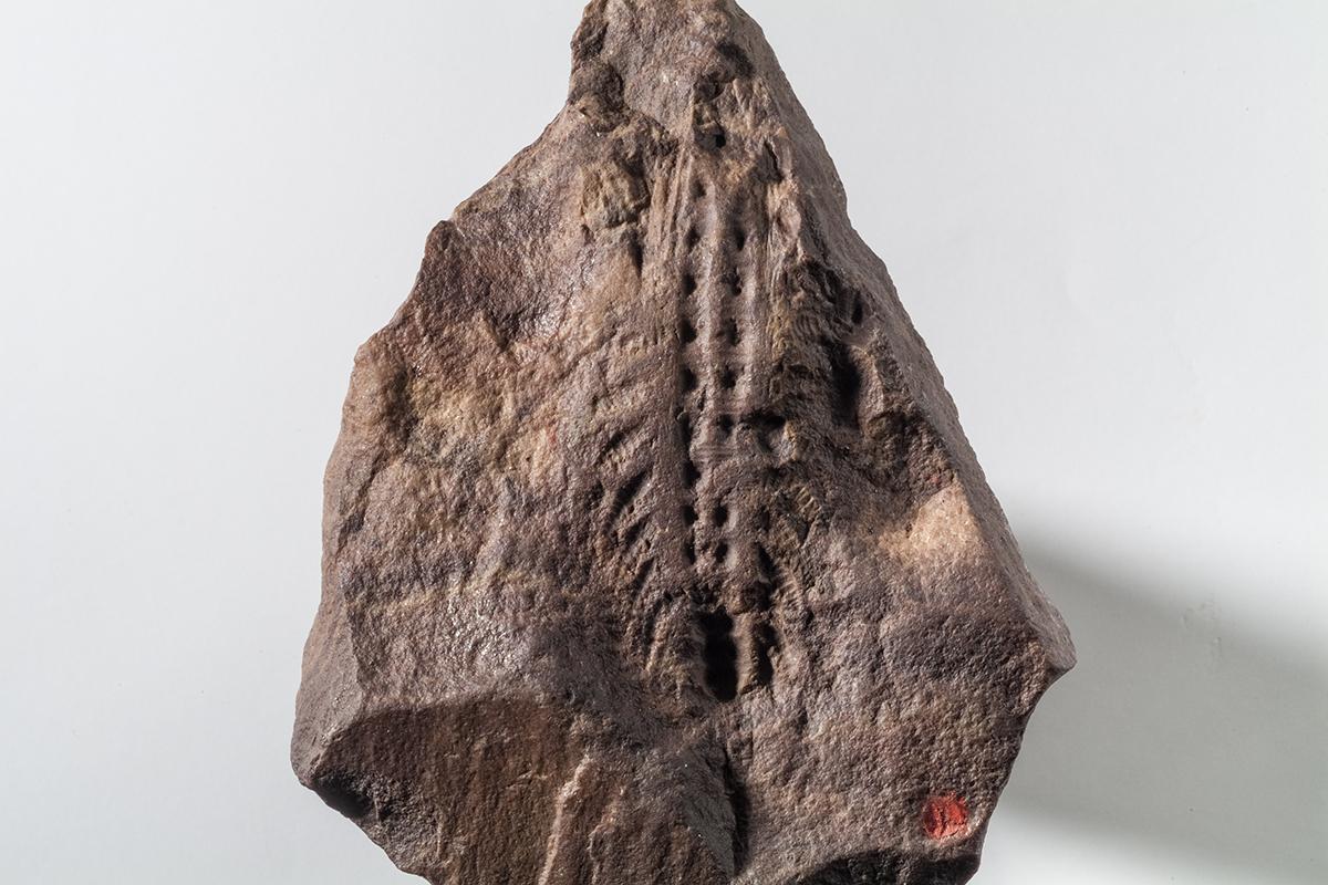 Xenusion auerswaldae