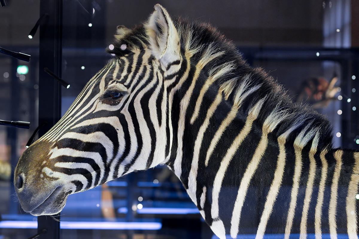 Das Foto zeigt den Kopf des Zebras im Profil.