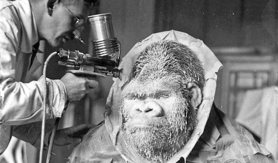 Fotografie des Gorillas Bobby bei der Präparation.