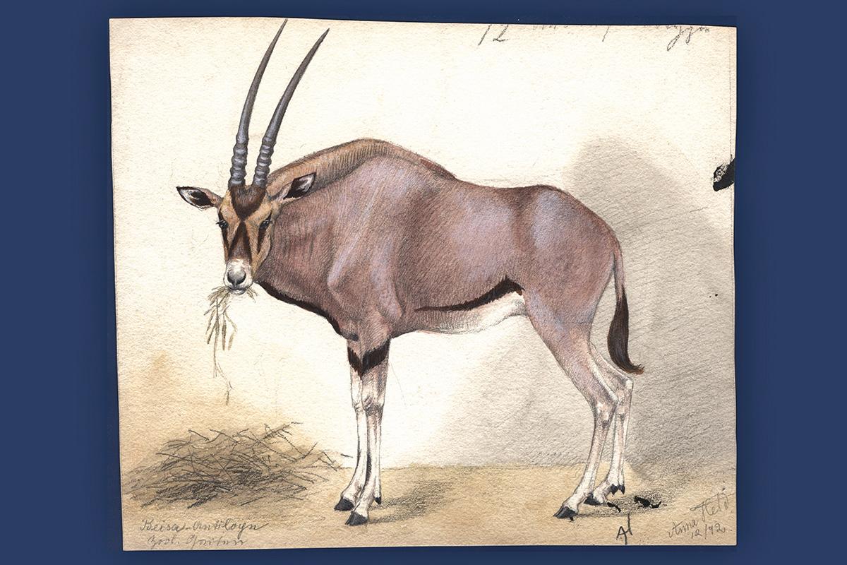 Aquarell von Anna Held, Zoologischer Garten Berlin Dezember 1892: Spiessbock, Oryx gazella collotis, Bestand: Zool. Mus., Signatur: B VIII 411