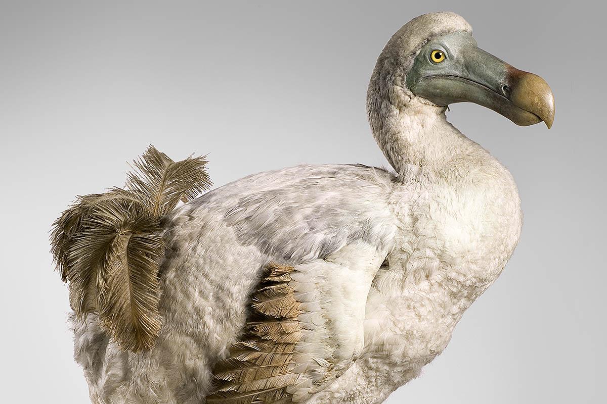 Das Foto zeigt die Rekonstruktion eines Dodos.