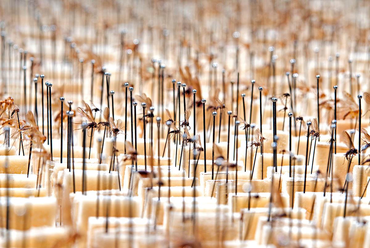Sammlungskasten mit Pilzmücken (Mycetophilidae)