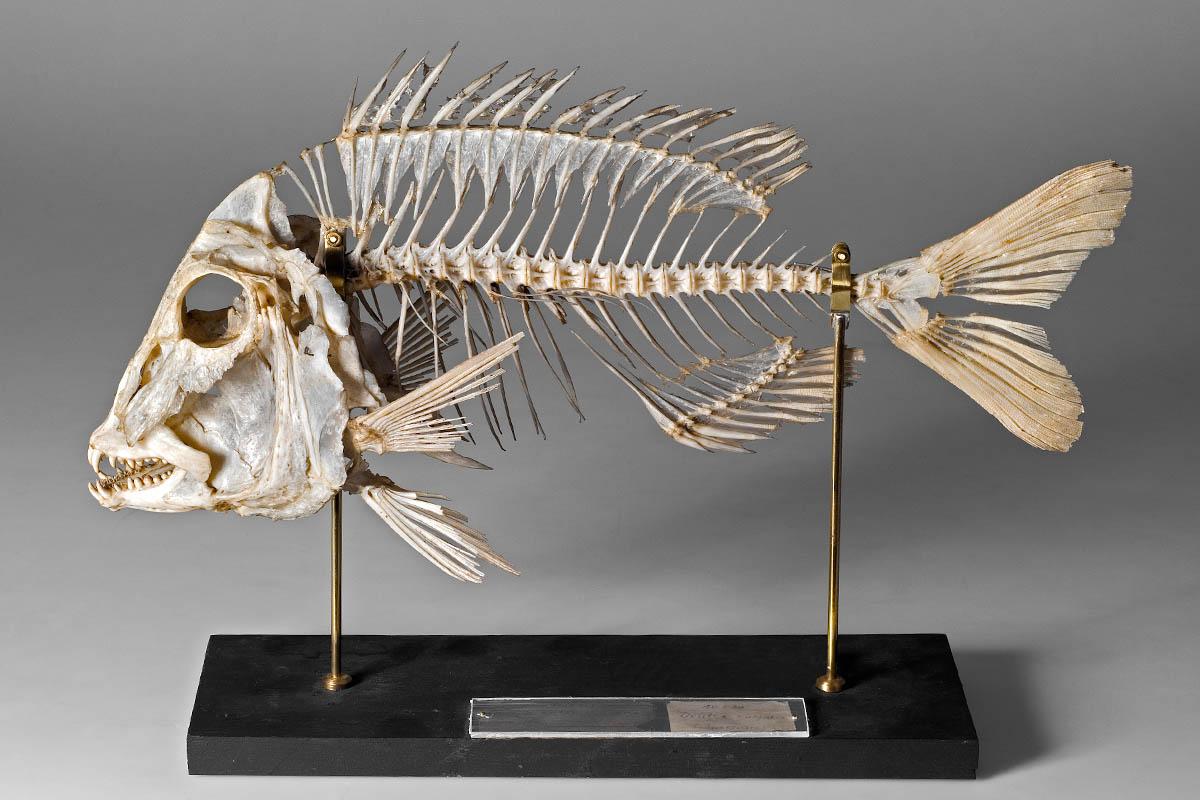 Restauriertes Skelettpräparat einer kommunen Meerbrasse (Dentex dentex), Foto: HwaJa Götz / MfN